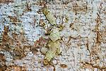 Leaf-tailed Gecko, Toamasina Province, Madagascar