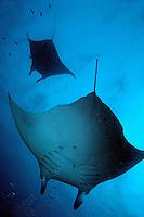 Two giant manta ray (manta birostris), Maldives.