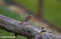 0919-0901  Chipping Sparrow, Spizella passerina © David Kuhn/Dwight Kuhn Photography