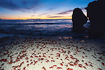 Spawning morning, red crabs at beach.Gecarcoidea natalis
