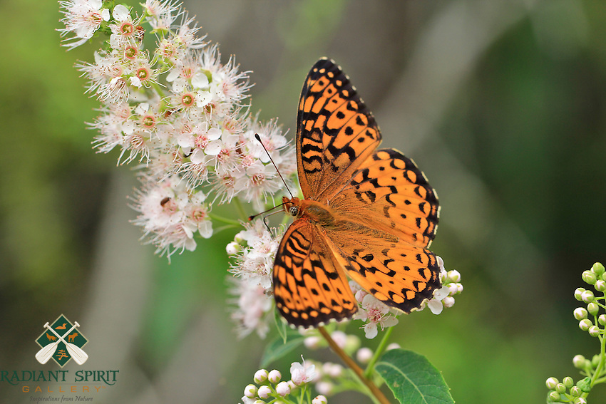 """""""Fritillary Butterfly""""<br /> <br /> A Fritillary Butterfly's bold orange and black coloration is a striking contrast to the soft pastel petals of the native Meadowsweet."""