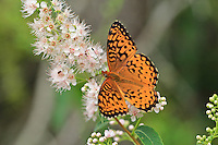 """Fritillary Butterfly""<br />
