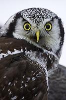 Portrait of a Northern Hawk Owl