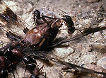 Large ants feeding on dragonfly  Formicidae Formicinae