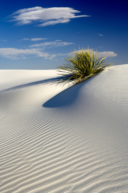 Yucca plant in sand dune. White Sands National Monument. New Mexico