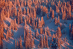 Encrusted by a mantle of freshly fallen snow, a forest of spruce and fir glows pink in the waning light of a January evening, Mount Rainier National Park, Washington