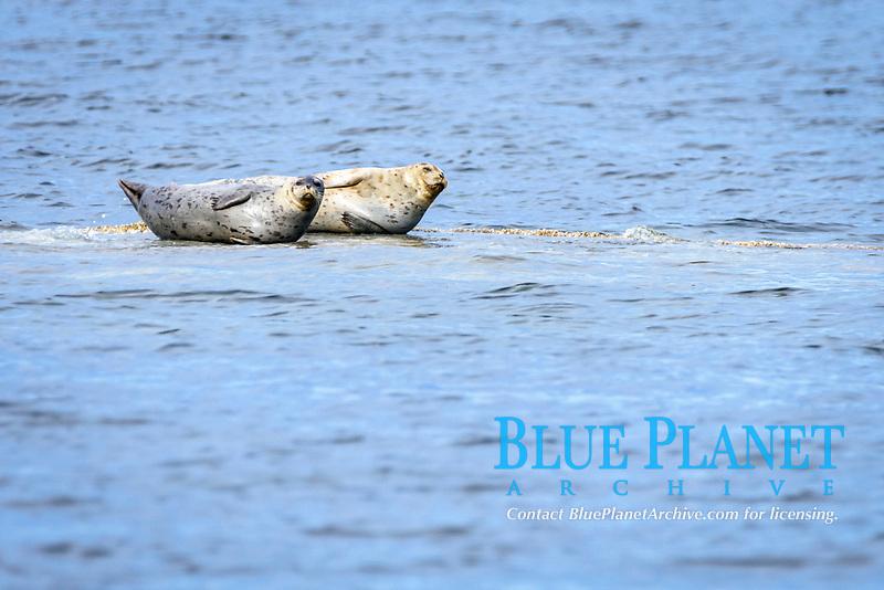 Harbour seals, Phoca vitulina, Sea Juan Islands, Washington, United States, Pacific