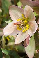 Hellebore 'Hot Flash' pink flower closeup