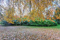 France, Allier (03), Villeneuve-sur-Allier, Arboretum de Balaine en automne, tupélo noir (Nyssa sylvatica)
