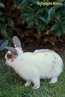 SH51-046x  Pet Rabbit - Dwarf