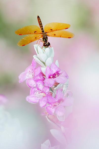 Eastern Amberwing (Perithemis tenera), male perched on Texas Sage (Leucophyllum frutescens), Dinero, Lake Corpus Christi, South Texas, USA