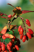 Gewöhnliche Berberitze, Sauerdorn, Früchte, Berberis vulgaris, Common Barberry