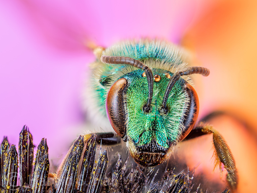 a small green headed bee on a cone flower.