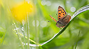 Small copper butterfly (Lycaena phlaeas) in meadow. Peak District National Park, Derbyshire, UK. May.