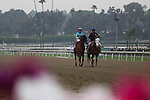 Vegas Strip with Tyler Baze aboard in the post parade for a MSW race at Santa Anita Park in Arcadia, California on February 15, 2014. (Zoe Metz/ Eclipse Sportswire)