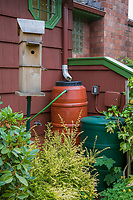 Rain barrel to collect roof gutter rain water runoff connected to garden hose by steps of front yard garden