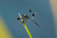 Four-spotted Pennant (Brachymesia gravida) Dragonfly - Male, Tierra Verde Pond, Tierra Verde, Pinellas County, Florida