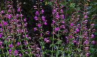 Penstemon spectabilis (Notable Penstemon), California native perennial wildflower, Santa Barbara Botanic Garden