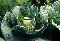 Vegetable; Cabbage