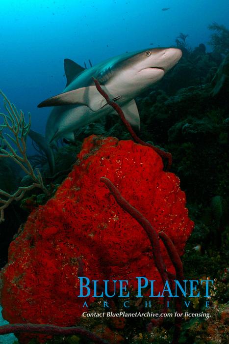 Caribbean reef shark, Carcharhinus perezii, on coral reef with orange elephant ear sponges, Agelas clathrodes, Bahamas (W. Atlantic) (do)