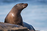 La Jolla, California; a female California sea lion basking in early morning sunlight, while resting on the rocky shoreline along the Pacific Ocean