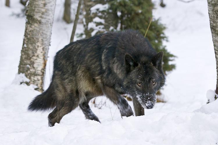 Grey Wolf stalking through the snow - CA