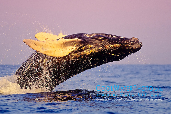 humpback whale, Megaptera novaeangliae, calf breaching with open eye, under golden hour light, Hawaii, USA, Pacific Ocean