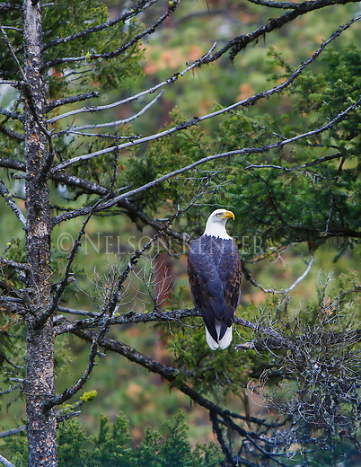 a bald eagle perched in a tree in western montana