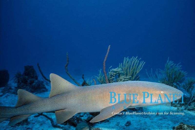 nurse shark, Ginglymostoma cirratum near Sugar Wreck, Little Bahama Bank, Bahamas, Caribbean ( W. Atlantic )