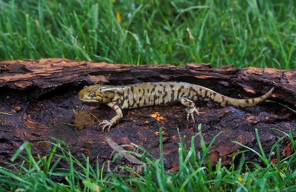 Blotched Tiger Salamander..Pacific Northwest, North America..(Ambystoma tigrinum melanosticium).