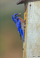 Male western bluebird bringing grasshopper to nest box to feed young.  Pacific Northwest.  May.