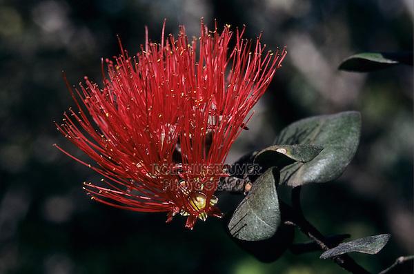 'Ohi'a lehua tree, Metrosideros polymorpha, blossom, Alakai Swamp, Kauai, Hawaii, USA, August 1997