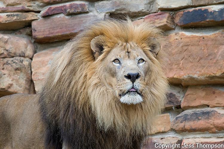 Lion, Fort Worth Zoo