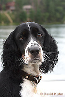 0301-1205  Tri-Colored English Springer Spaniel, Canis lupus familiaris  © David Kuhn/Dwight Kuhn Photography