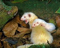 albino ferret, Mustela putorius furo, domesticated form of European polecat, Mustela putorius, adult female, yawning mother with pup among leaves, Normandy, France, Europe