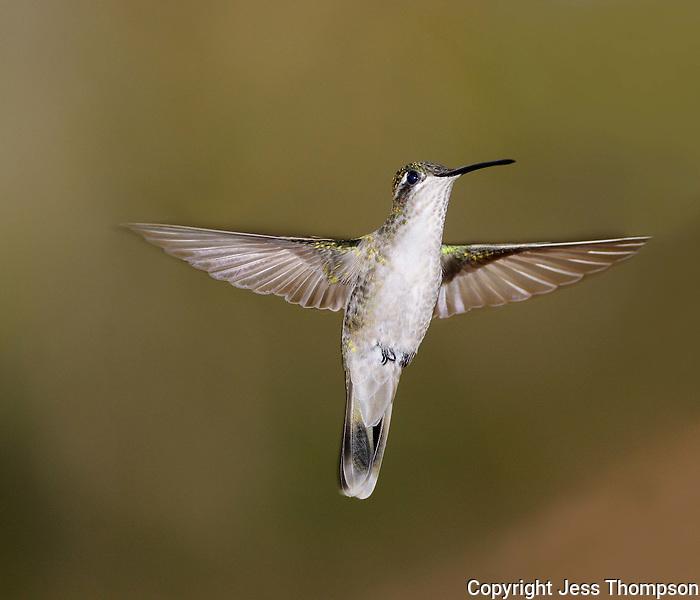 Hummingbird from Southeastern Arizona