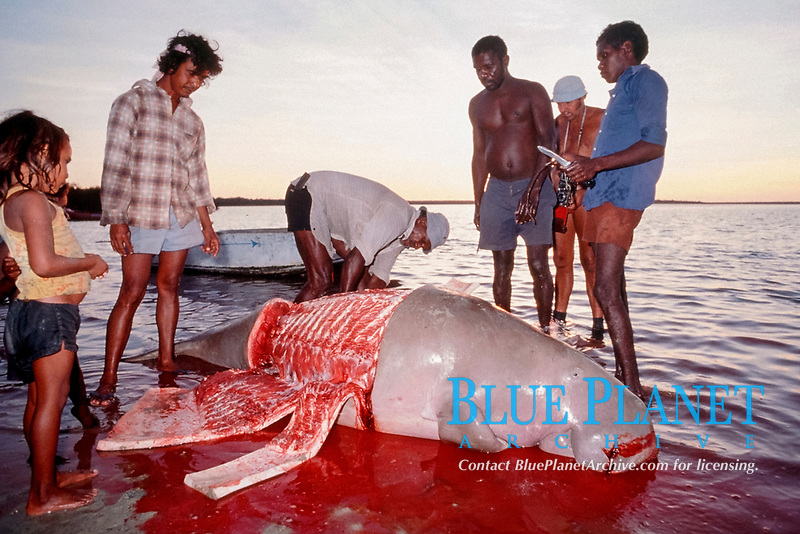 Aborigines butcher dugong, Dugong dugon, under traditional hunting rights, Torres Straits, Australia, Pacific Ocean