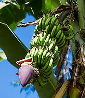 Tanzania.  Mto wa Mbu. Banana Plantation.  Banana Bunch Growing above the Banana Flower or Blossom.