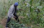 Foto: VidiPhoto..BULAWAYO - Medewerkers van de Zimbabwaanse hulpverleningsorganisatie ZOE oogsten maïskolven met de hand op een akker bij Bulawayo. De oogst van het perceel maïs is bestemd voor hongerige bewoners uit de omgeving van de Zimbabwaanse stad Bulawayo. Ondanks dat er voldoende regen is gevallen, wordt er een slechte oogst verwacht. Dat komt door een groot gebrek aan zaad en kunstmest. Zo'n 7 miljoen Zimbabwanen, zo'n 80 procent van de bevolking, lijden honger.