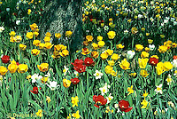 HS08-010b  Tulip garden - Tulipa spp. mixed with daffodils - Narcissus spp.