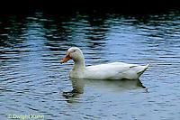 DG13-900x  Pekin Duck - duck swimming