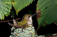 HU10-078x  Ruby-throated Hummingbird - female incubating young -  Archilochus colubris