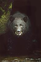 Black Bear (Ursus americanus) Western U.S.