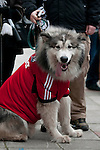 Zowie the dog wearing Football shirt as Swansea City Football team and fans celebrate during an open-top bus parade through the centre of Swansea after beating Bradford City 5-0 in Sunday's Capital One Cup final at Wembley to win the Capital Cup trophy.