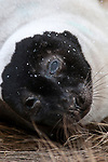 Harp Seal adult resting on salt marsh grass, Weymouth, Massachusetts during snow storm, close-up, vertical.