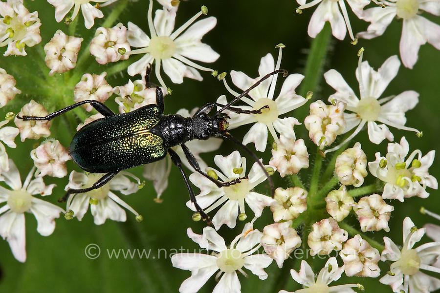 Blaubock, Blaubock-Käfer, Blaubockkäfer, Blütenbesuch, Carilia virginea, Gaurotes virginea, Longhorn Beetle