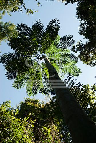 Fazenda Bauplatz, Brazil. Schizolobium sp. fern tree looking up the trunk to the canopy against a bluue sky.