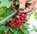 """Picking redcurrants (early July). It's easier to cut entire trusses (""""strigs"""") than to try and pick individual berries."""