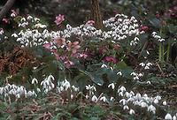 Helleborus hybridus pink and red  .with Galanthus nivalis snowdrop bulbs