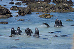 San Simeon, California; sub-adult male Northern Elephant Seals (Mirounga angustirostris) fight and establish dominance in the shallow water pools just offshore, the adult males, females and juvenile pups have all left the beach to feed in the ocean at this point in the year ( late June)